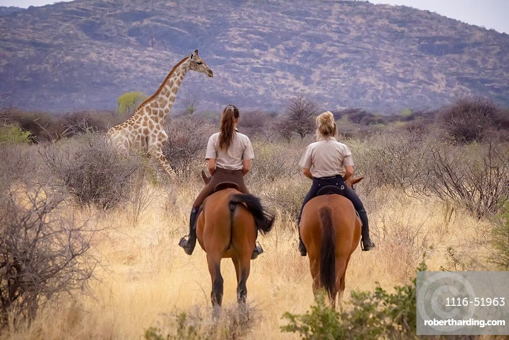 View taken from behind of two women riding horses following a Southern giraffe (Giraffa camelopardalis angolensis) through the bush at the Gabus Game Ranch; Otavi, Otjozondjupa, Namibia