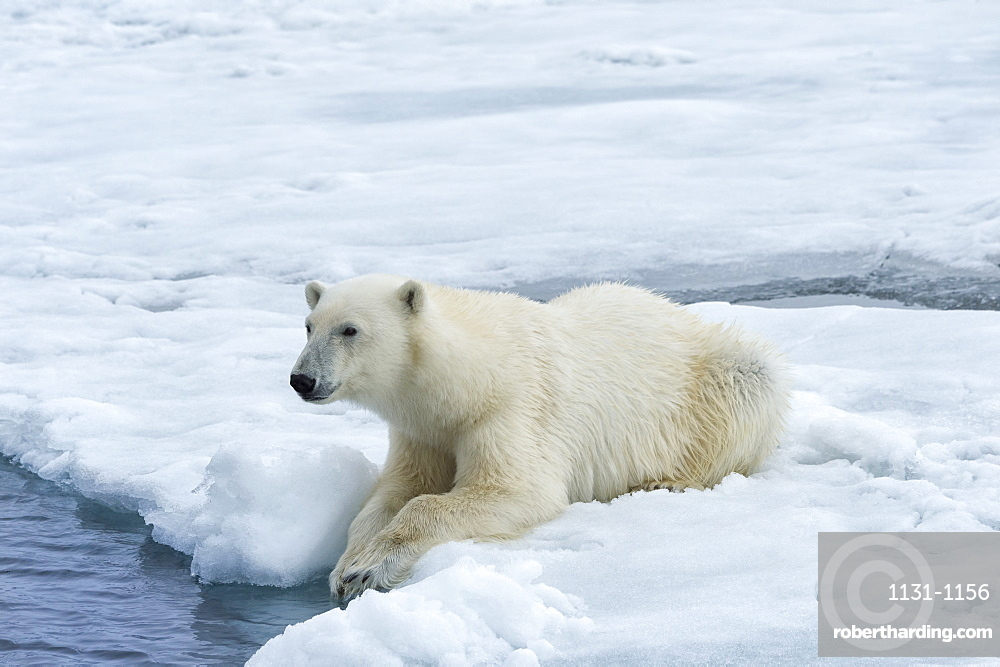 Polar Bear (Ursus maritimus) on pack ice, Svalbard Archipelago, Arctic, Norway, Europe