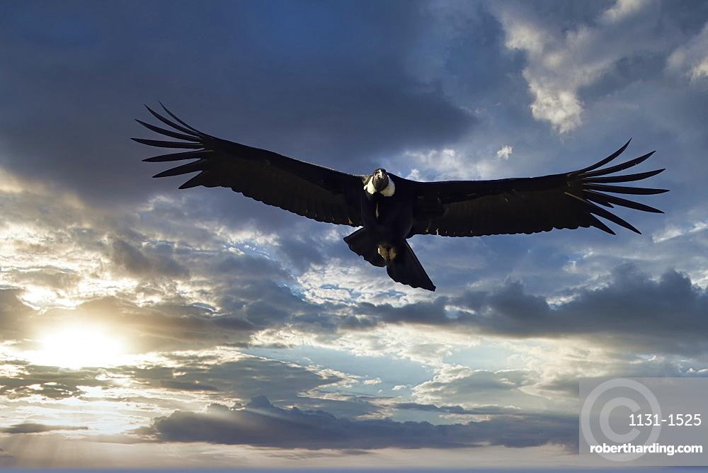 Andean Condor (Vultur gryphus) in flight, Coyhaique Alto, Aysen Region, Patagonia, Chile