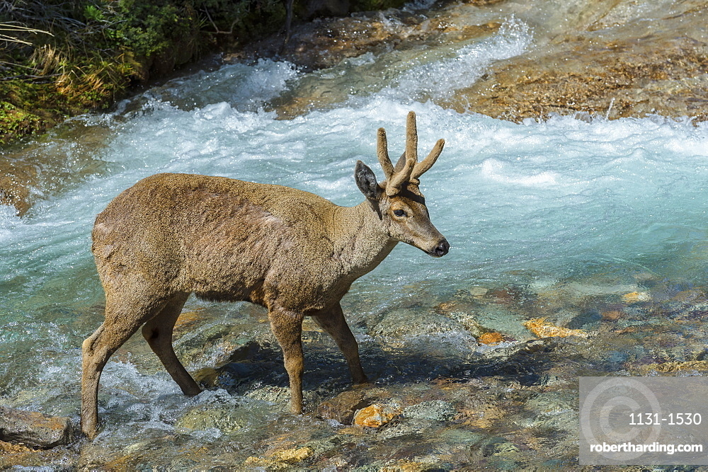 Male South Andean Deer (Hippocamelus bisulcus) crossing a river, Aysen Region, Patagonia, Chile