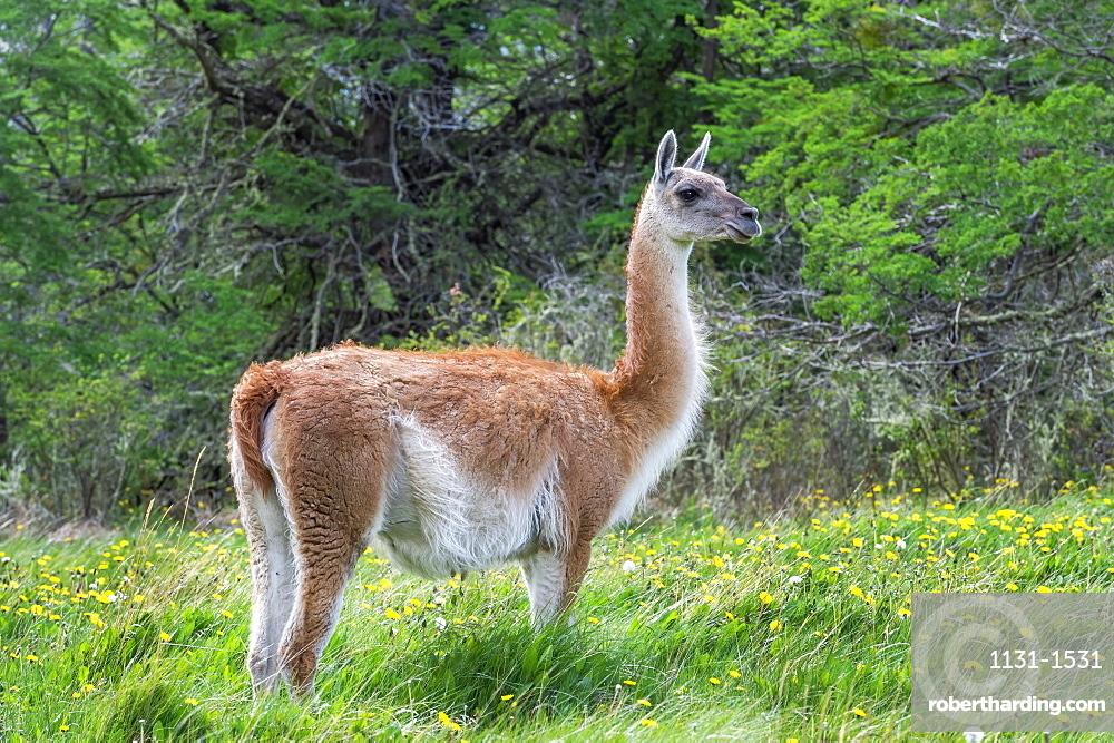 Guanaco (Lama guanicoe), Patagonia National Park, Chacabuco Valley, Aysen Region, Patagonia, Chile
