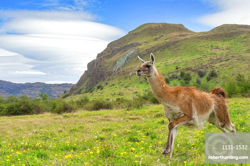 Running Guanaco (Lama guanicoe), Patagonia National Park, Chacabuco Valley, Aysen Region, Patagonia, Chile