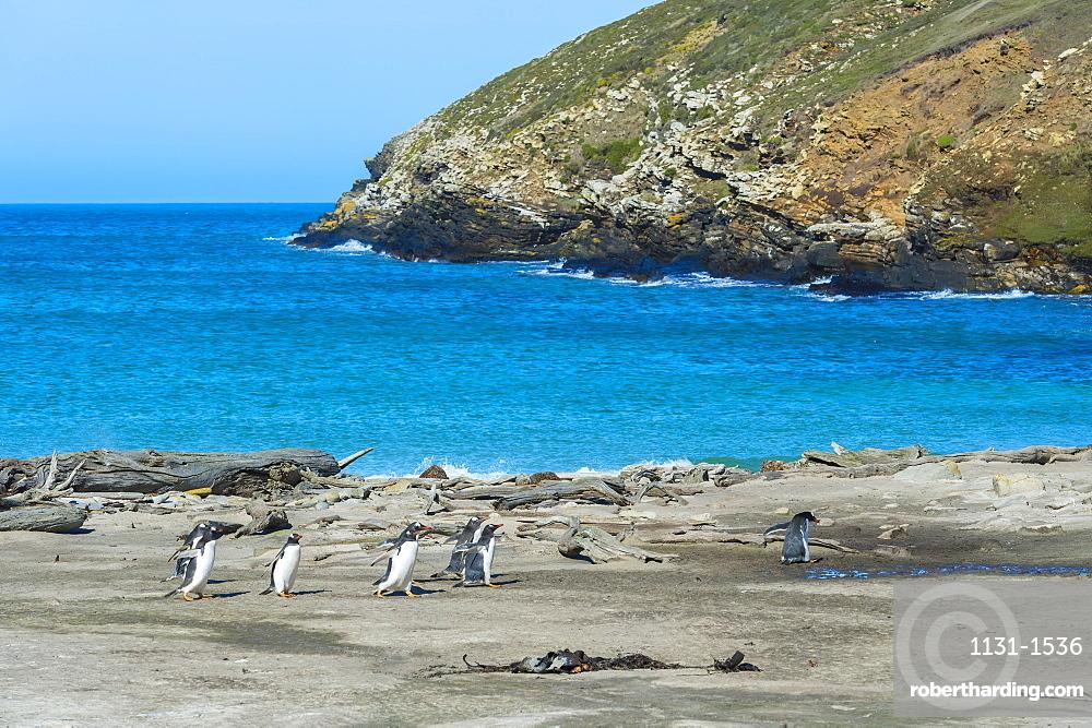 Gentoo penguins (Pygoscelis papua) crossing a stream, Grave Cove, West Falkland Island, Falkland Islands, South America