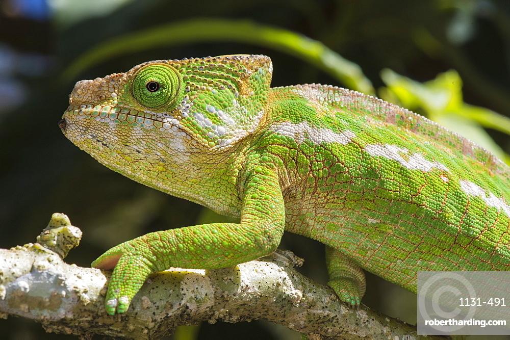 Globe-horned chameleon (flat-casqued chameleon) (Calumma globifer), endemic, Madagascar, Africa
