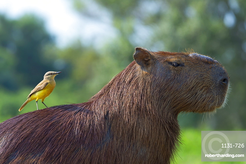 Capybara (Hydrochaeris hydrochaeris) and white-throated kingbird (Tyrannus albogularis) on the back, Pantanal, Mato Grosso, Brazil, South America