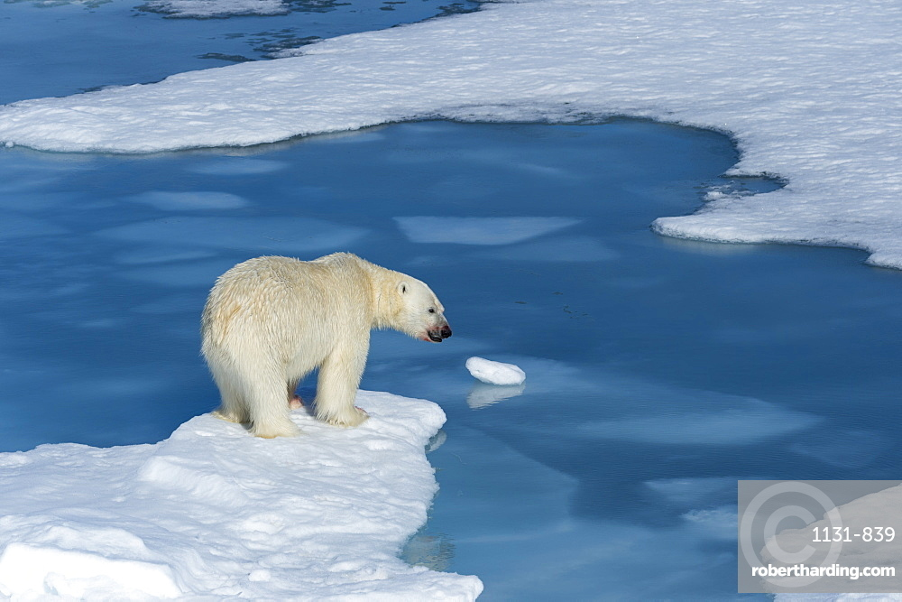 Male polar bear (Ursus maritimus) with blood on his nose on ice floes and blue water, Spitsbergen Island, Svalbard Archipelago, Arcitc, Norway, Scandinavia, Europe