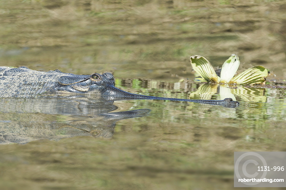 Gharial (Gavialis gangeticus) (gavial) in the water, a Critically Endangered species, Crocodylidae Family, Chitwan National Park, UNESCO World Heritage Site, Nepal, Asia