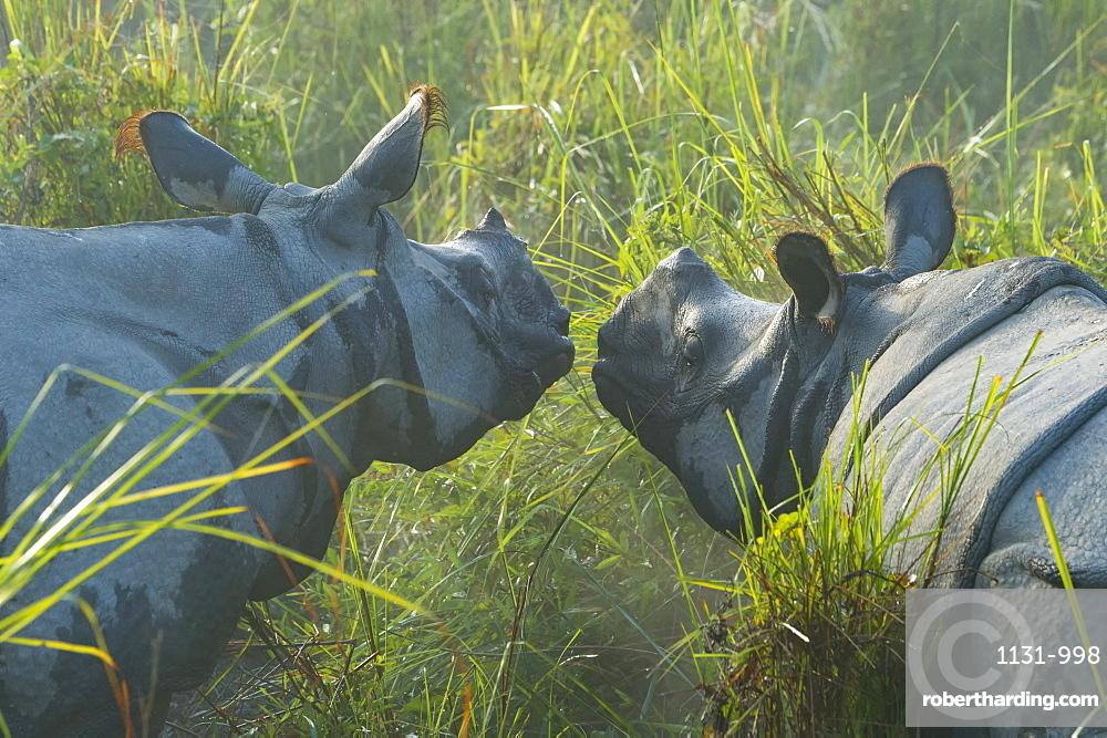 Couple of Indian rhinoceros (Rhinoceros unicornis) in the morning mist, Kaziranga National Park, Assam, India, Asia