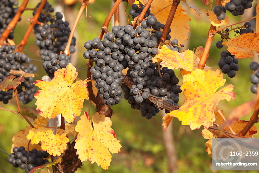 Red wine grapes, autumn, Uhlbach, Baden Wurttemberg, Germany, Europe