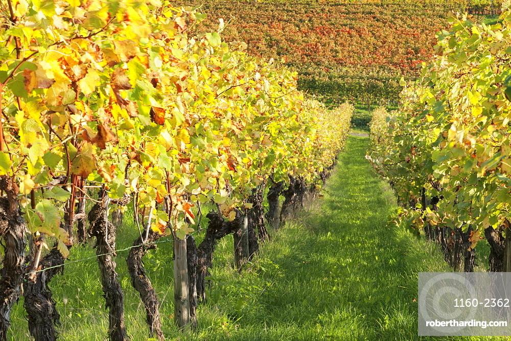Vineyards in autumn, Uhlbach, Baden Wurttemberg, Germany, Europe