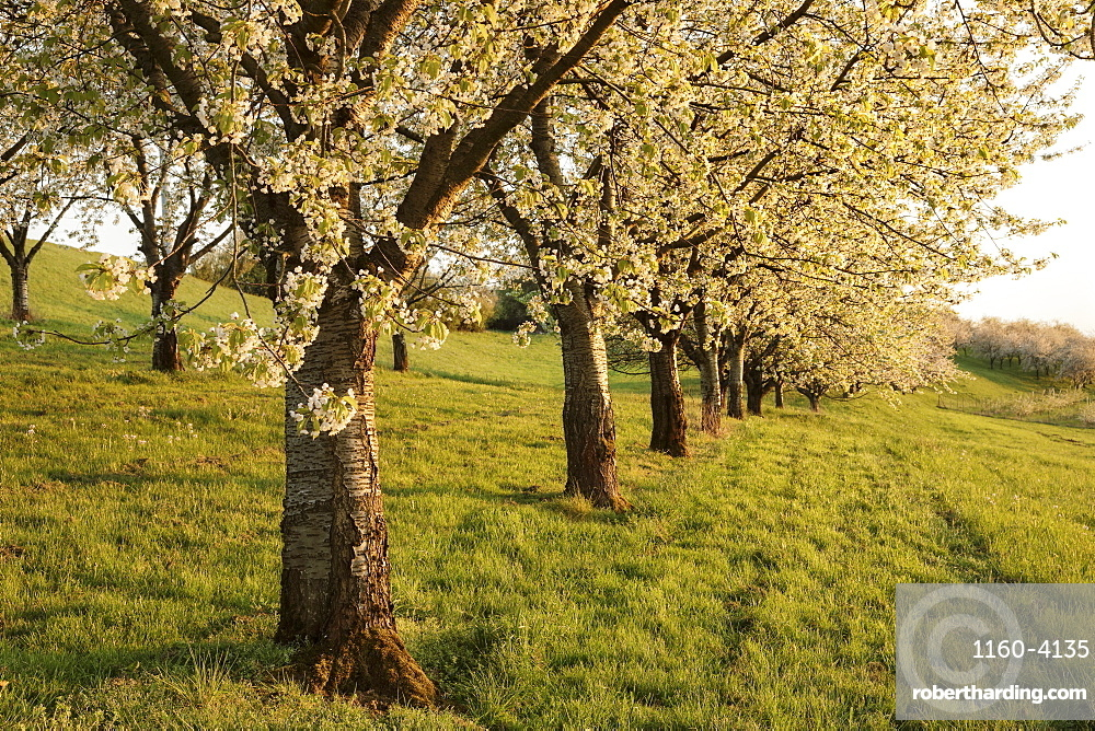Cherry blossom in Obereggenen, Breisgau, Black Forest, Baden-Wuerttemberg, Germany, Europe