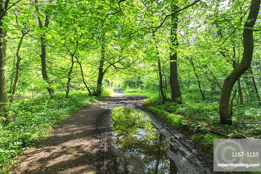 Trees in spring leaf provide canopy over hiking path with puddle reflections, Millers Dale, Peak District, Derbyshire, England, United Kingdom, Europe