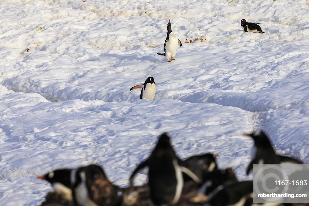 Gentoo penguin (Pygoscelis papua) uses penguin highway past a colony, Neko Harbour, Anvord Bay, Antarctic Peninsula, Antarctica, Polar Regions