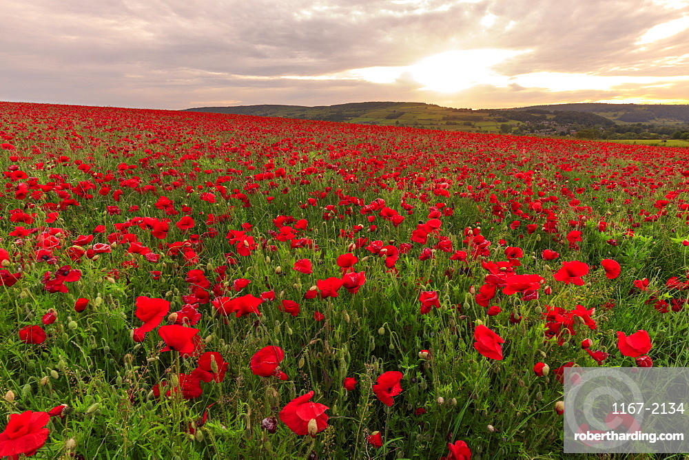 Red poppies, backlit field at sunrise, beautiful wild flowers, Peak District National Park, Baslow, Derbyshire, England
