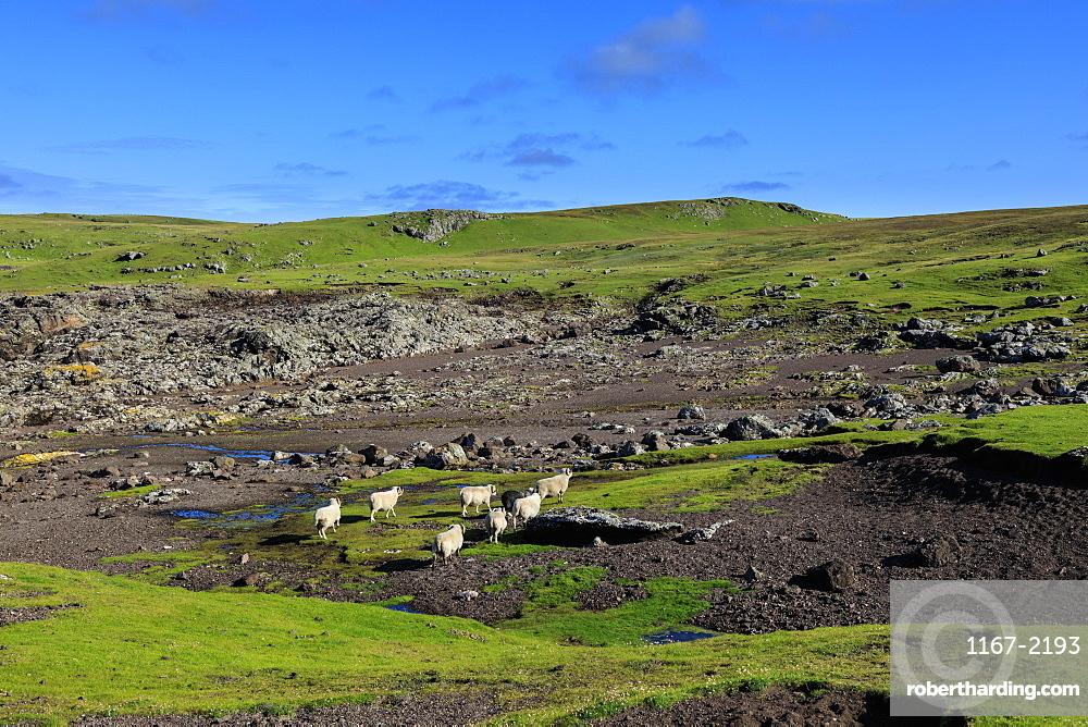 Shetland Sheep, Villians of Hamnavoe, cliff tops shaped by storm deposits, Eshaness, Northmavine, Shetland Isles, Scotland