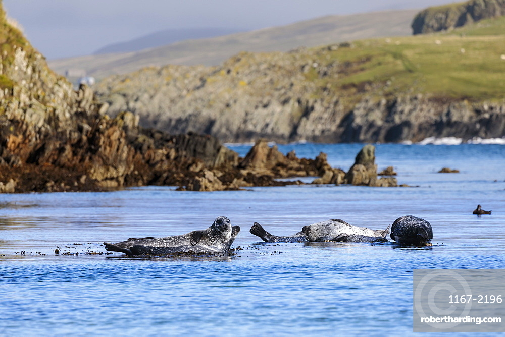 Common seals, harbour seals, hauled out on rocks, turquoise sea, Scousburgh Sands, South Mainland, Shetland Isles, Scotland
