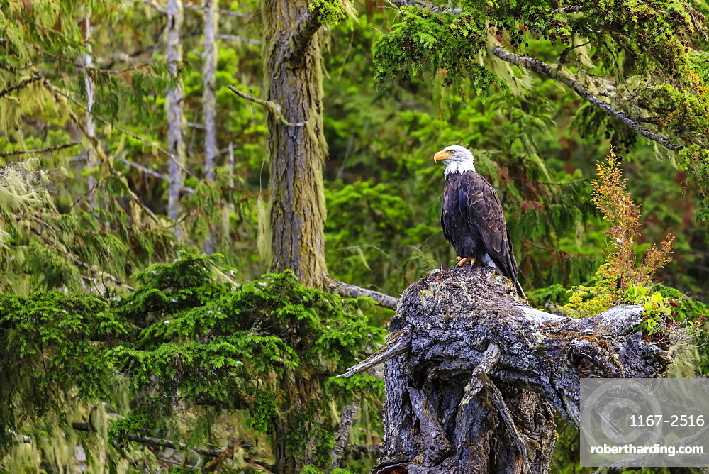 Bald Eagle (Haliaeetus leucocephalus), in a forest setting, Alert Bay, Inside Passage, British Columbia, Canada, North America