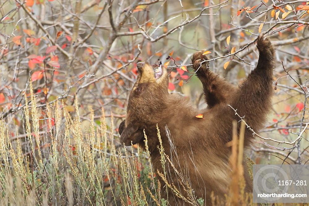 Cinnamon black bear (Ursus americanus) eats autumn (fall) berries, Grand Teton National Park, Wyoming, United States of America, North America