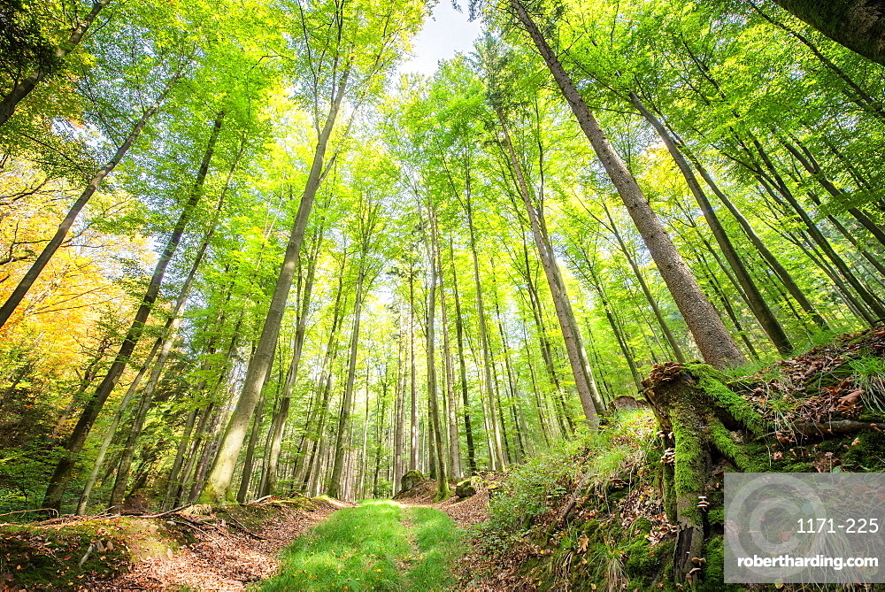Fresh greens and a grassy path in a light-filled German forest, Baden-Wurttemberg, Germany, Europe