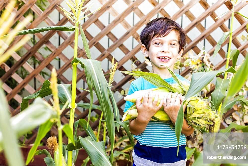 Mixed race boy picking corn in garden