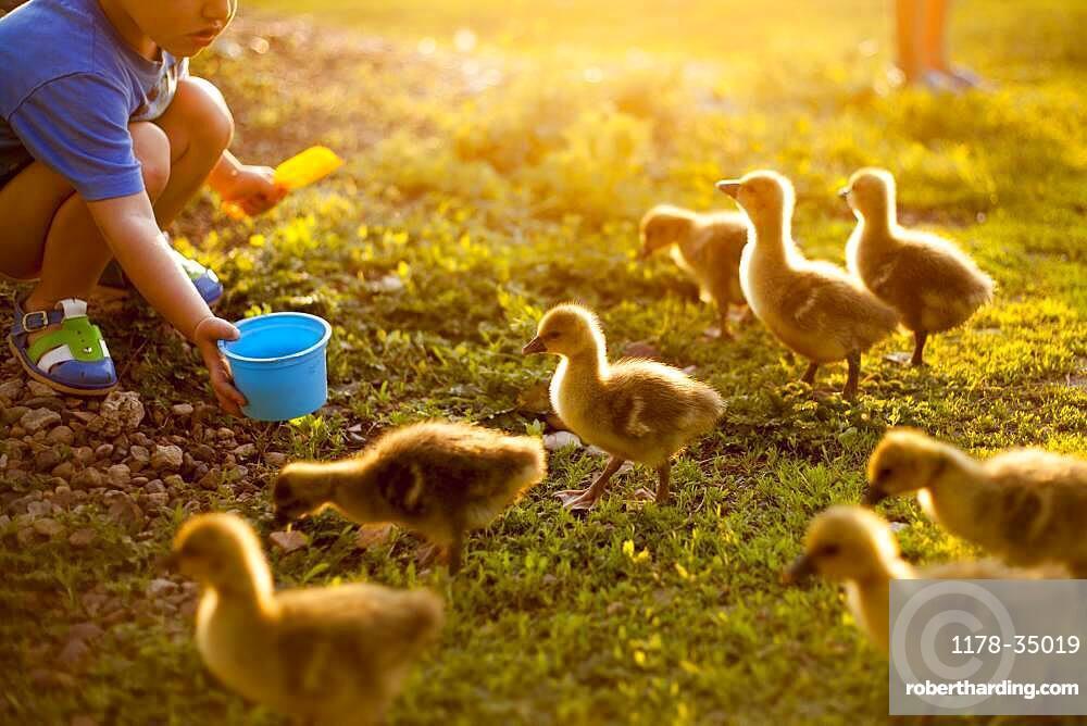 Mari boy feeding ducks on farm
