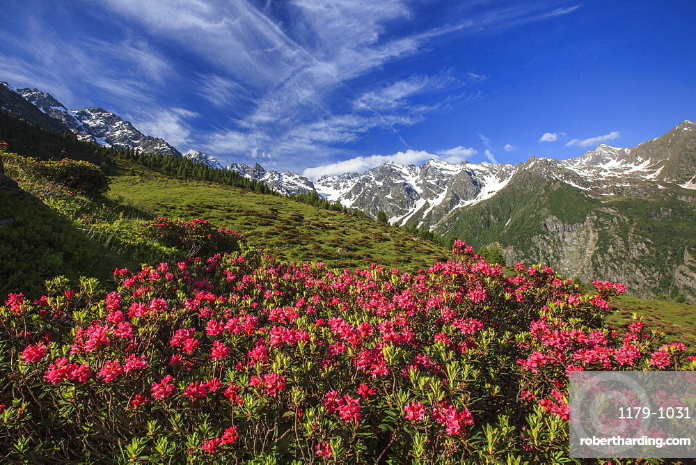 Rhododendrons in bloom surrounded by green meadows, Orobie Alps, Arigna Valley, Sondrio, Valtellina, Lombardy, Italy, Europe