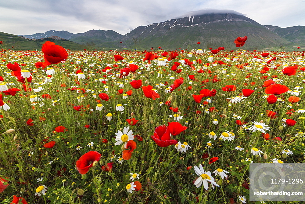Red poppies and daisies in bloom, Castelluccio di Norcia, Province of Perugia, Umbria, Italy, Europe