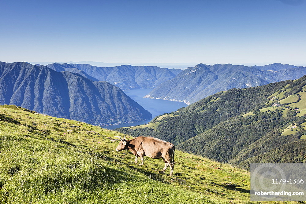Cow in the green pastures with Lake Como and peaks in the background Gravedona, Province of Como, Italian Lakes, Lombardy, Italy, Europe