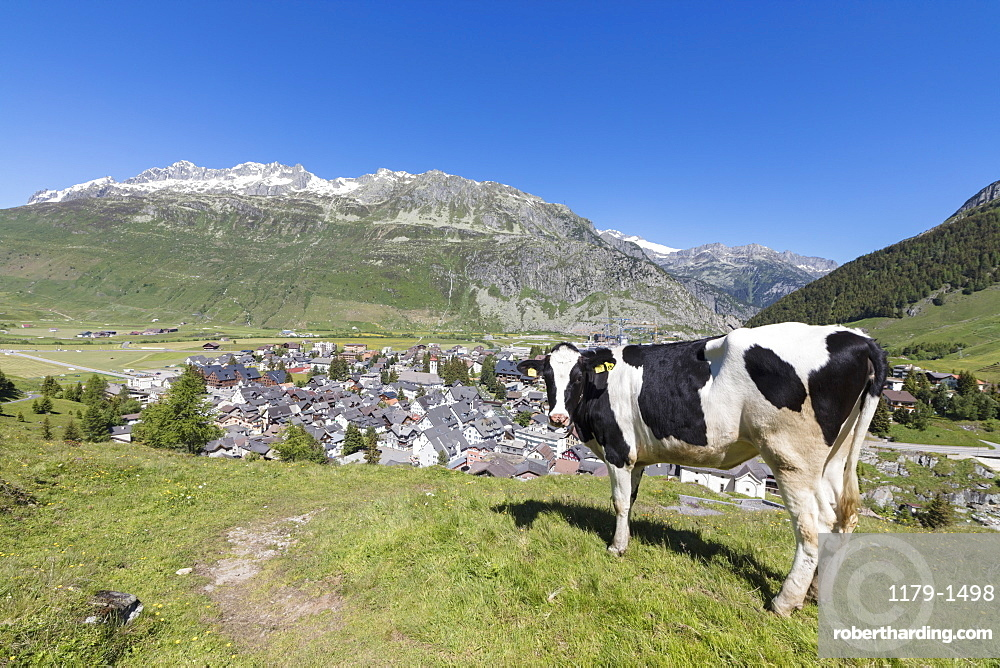 Cow grazing in the green pastures surrounding the alpine village of Andermatt, Canton of Uri, Switzerland, Europe
