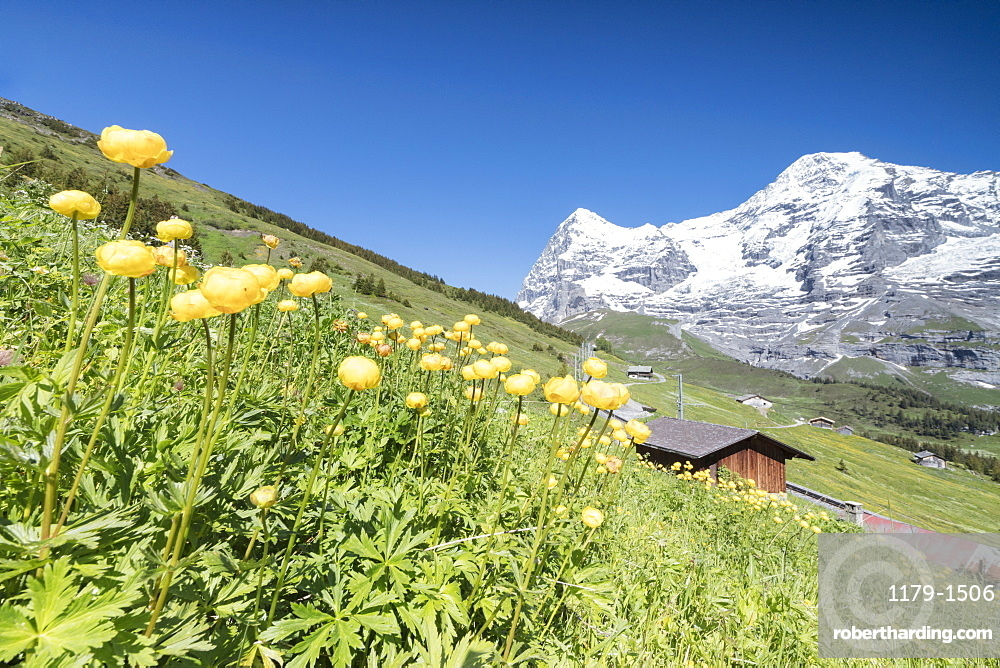 Blooming of yellow flowers framed by green meadows and snowy peaks, Wengen, Bernese Oberland, Canton of Bern, Switzerland, Europe