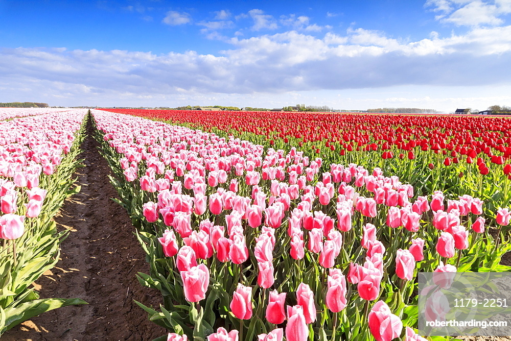 Multicolored tulips in the fields of Oude-Tonge during spring bloom, Oude-Tonge, Goeree-Overflakkee, South Holland, The Netherlands, Europe