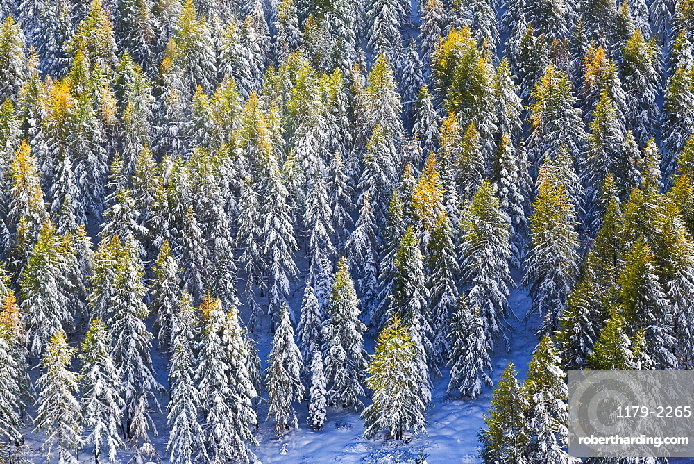 Aerial view of larches in the woods covered with snow during the fall season, Chiavenna Valley, Valtellina, Lombardy, Italy, Europe