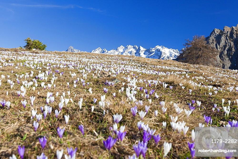 Colorful crocus in meadows framed by snowy peaks, Alpe Granda, Sondrio province, Masino Valley, Valtellina, Lombardy, Italy, Europe
