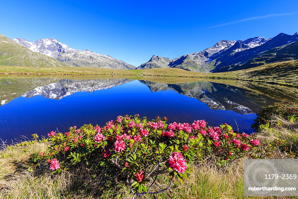 Rhododendrons in bloom at Lake Andossi, Chiavenna Valley, Sondrio province, Valtellina, Lombardy, Italy, Europe