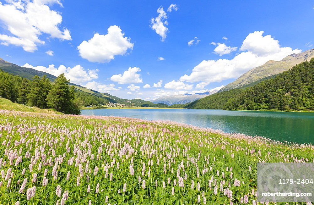 Spring bloom of Persicaria bistorta at Lej da Champfer, St. Moritz, Upper Engadine, Canton of Graubunden, Switzerland, Europe
