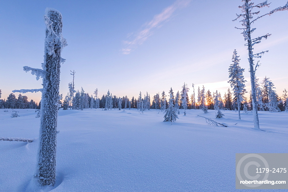 Sunset on trees covered with ice in the boreal forest (Taiga), Kiruna, Norrbotten County, Lapland, Sweden, Scandinavia, Europe
