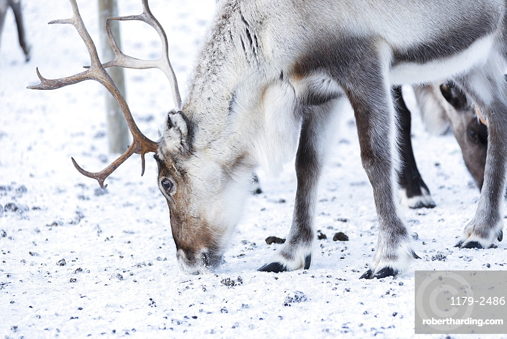 Close up of a reindeer, Abisko, Kiruna Municipality, Norrbotten County, Lapland, Sweden, Scandinavia, Europe