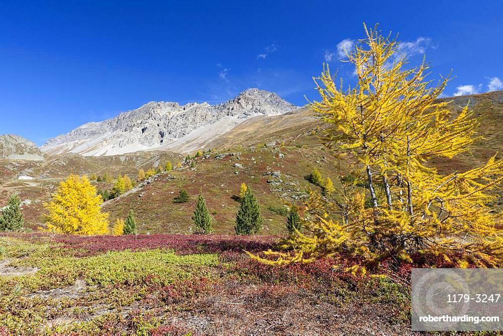 Yellow larches during autumn, Val Vezzola, Valdidentro, Valtellina, Sondrio province, Lombardy, Italy, Europe