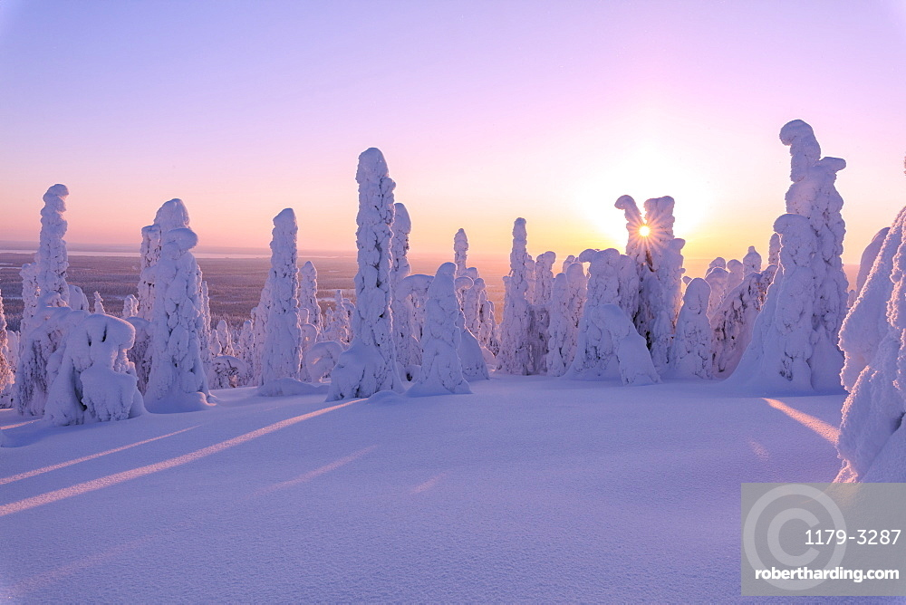 Pink sunrise on frozen trees, Riisitunturi National Park, Posio, Lapland, Finland, Europe