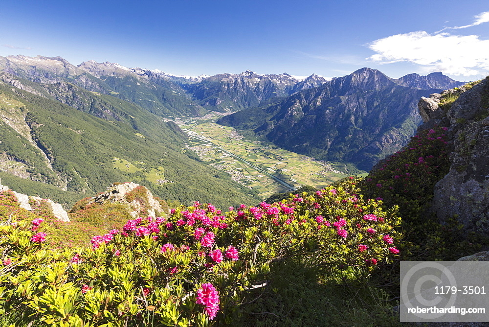 Rhododendrons on Monte Berlinghera with Chiavenna Valley in the background, Sondrio province, Lombardy, Italy, Europe