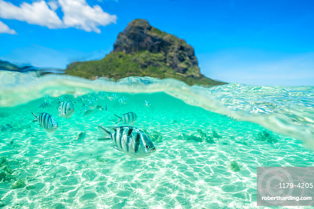 Tropical fish swimming on coral reef in the tropical lagoon, Le Morne Brabant, Black River district, Mauritius, Indian Ocean, Africa