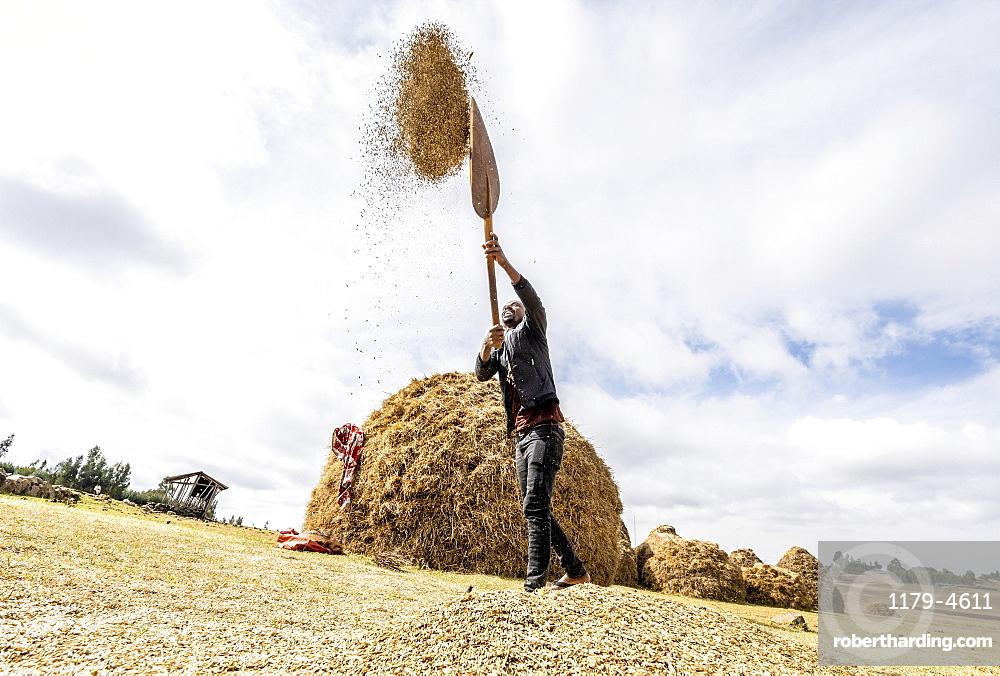 Farmer throwing wheat up in the air during threshing, Wollo Province, Amhara Region, Ethiopia, Africa