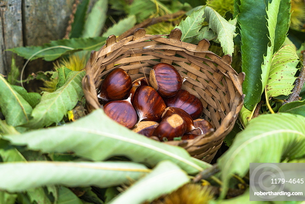Harvested chestnuts in straw basket, Valtellina, Sondrio province, Lombardy, Italy, Europe