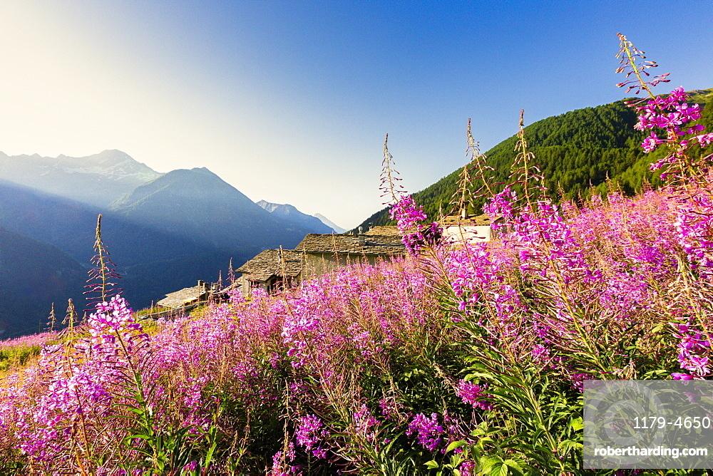 Colorful Willowherb (epilobium) in bloom, Starleggia, Campodolcino, Valchiavenna, Valtellina, Lombardy, Italy, Europe