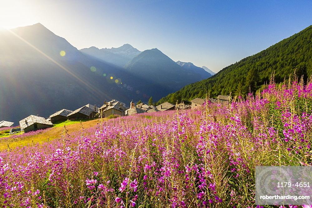 Fields of Willowherb (epilobium) in bloom surrounding the village of Starleggia, Campodolcino, Valchiavenna, Lombardy, Italy, Europe