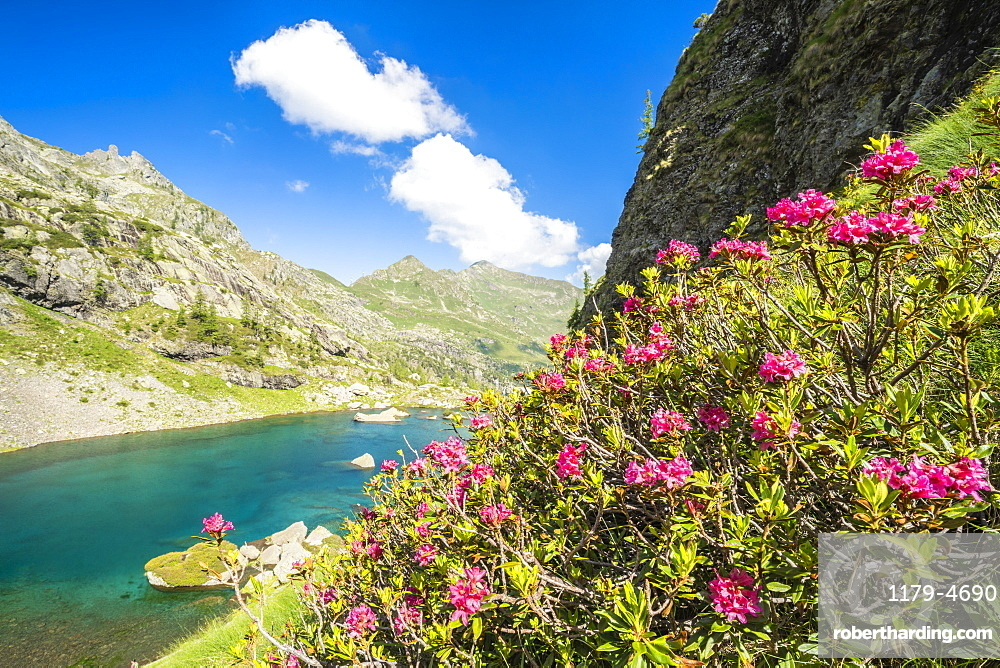 Blooming rhododendrons on shores of the alpine lake Zancone, Orobie Alps, Valgerola, Valtellina, Lombardy, Italy, Europe