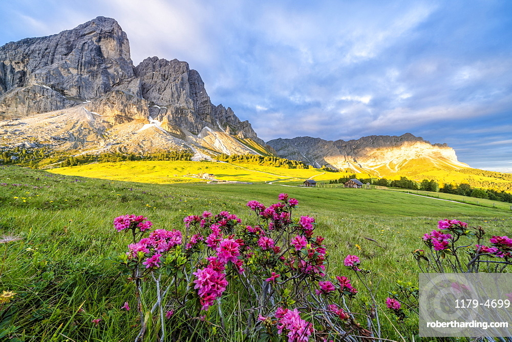 Sunrise over Sass De Putia mountain (Peitlerkofel) and rhododendrons in bloom, Passo Delle Erbe, Dolomites, South Tyrol, Italy, Europe