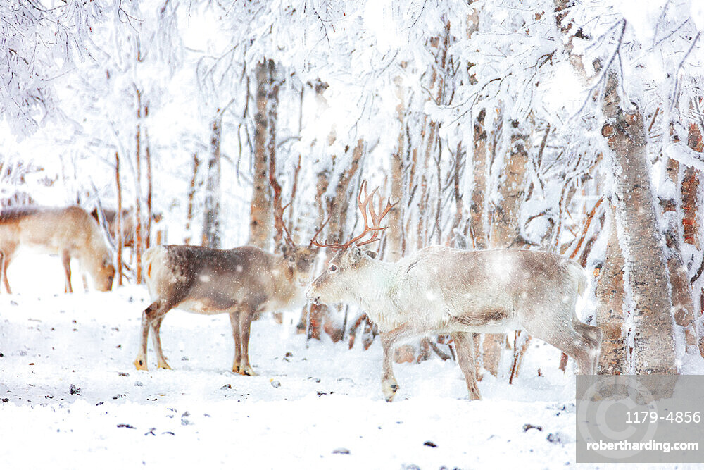 Snow blizzard over reindeers in the frozen forest, Lapland, Finland