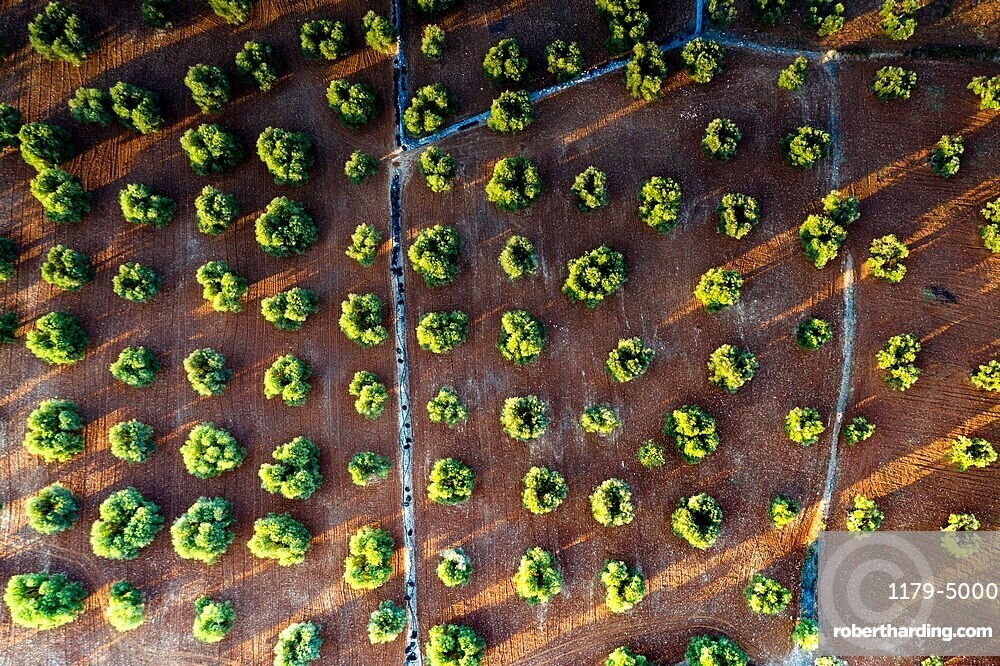 Olive groves from above, aerial view, Apulia, Italy, Europe