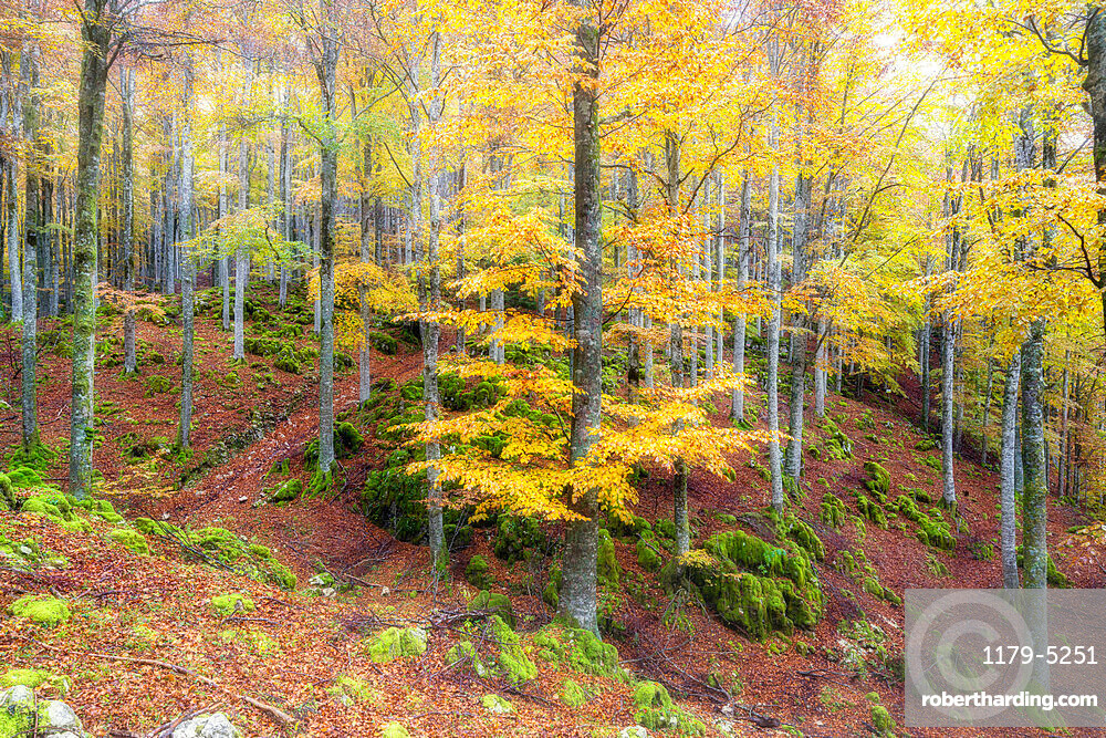 Autumn colors in the forest of Cansiglio in morning fog, Treviso province, Veneto, Italy